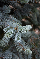 Hoopsii Blue Spruce (Picea pungens 'Hoopsii') at Hillermann Nursery