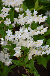 Chardonnay Pearls® Deutzia (Deutzia gracilis 'Duncan') at Hillermann Nursery