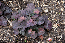 Mocha Coral Bells (Heuchera 'Mocha') at Hillermann Nursery
