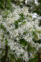 Chinese Fringetree (Chionanthus retusus) at Hillermann Nursery