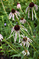 Pale Purple Coneflower (Echinacea pallida) at Hillermann Nursery