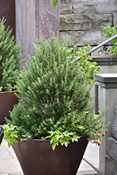 Tuscan Blue Rosemary (Rosmarinus officinalis 'Tuscan Blue') at Hillermann Nursery