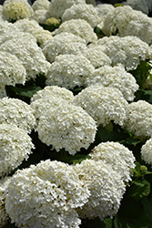 Incrediball® Hydrangea (Hydrangea arborescens 'Abetwo') at Hillermann Nursery