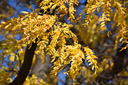 Shademaster Honeylocust (Gleditsia triacanthos 'Shademaster') at Hillermann Nursery