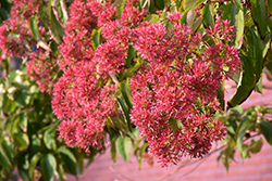 Seven-Son Flower (Heptacodium miconioides) at Hillermann Nursery
