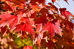 Sun Valley Red Maple (Acer rubrum 'Sun Valley') at Hillermann Nursery