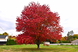 Red Maple (Acer rubrum) at Hillermann Nursery