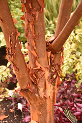 Paperbark Maple (Acer griseum) at Hillermann Nursery