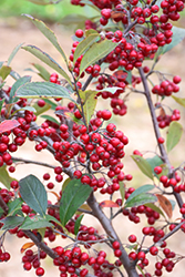 Brilliantissima Red Chokeberry (Aronia arbutifolia 'Brilliantissima') at Hillermann Nursery