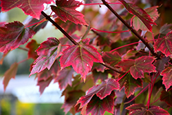 Brandywine Red Maple (Acer rubrum 'Brandywine') at Hillermann Nursery