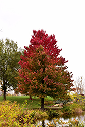 Red Sunset Red Maple (Acer rubrum 'Red Sunset') at Hillermann Nursery
