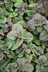 Oregano (Origanum vulgare) at Hillermann Nursery