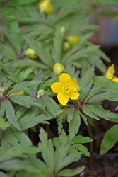 Yellow Wood Anemone (Anemone ranunculoides) at Hillermann Nursery