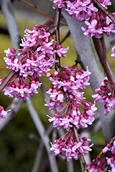 Lavender Twist Redbud (Cercis canadensis 'Covey') at Hillermann Nursery