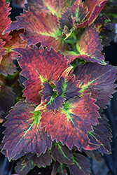 Stained Glassworks™ Tilt A Whirl Coleus (Solenostemon scutellarioides 'Tilt A Whirl') at Hillermann Nursery
