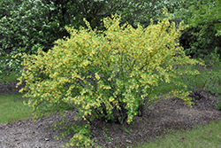 Clove Currant (Ribes odoratum) at Hillermann Nursery
