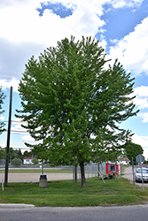 Silver Maple (Acer saccharinum) at Hillermann Nursery