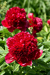 Red Charm Peony (Paeonia 'Red Charm') at Hillermann Nursery