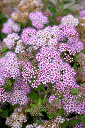 Little Princess Spirea (Spiraea japonica 'Little Princess') at Hillermann Nursery