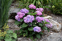 Bloomstruck® Hydrangea (Hydrangea macrophylla 'PIIHM-II') at Hillermann Nursery