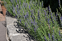 Dwarf Blue Hyssop (Hyssopus officinalis 'Nana') at Hillermann Nursery