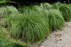 Silk Tassels Sedge (Carex morrowii 'Silk Tassels') at Hillermann Nursery