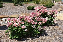 Little Quick Fire® Hydrangea (Hydrangea paniculata 'SMHPLQF') at Hillermann Nursery