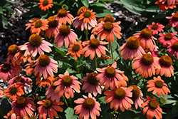 Sombrero® Hot Coral Coneflower (Echinacea 'Balsomcor') at Hillermann Nursery