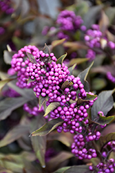 Pearl Glam® Beautyberry (Callicarpa 'NCCX2') at Hillermann Nursery