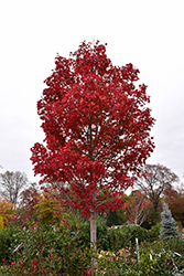October Glory Red Maple (Acer rubrum 'October Glory') at Hillermann Nursery