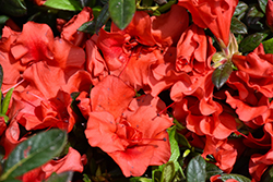 Encore® Autumn Embers™ Azalea (Rhododendron 'Conleb') at Hillermann Nursery