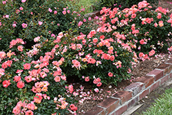 Peach Drift® Rose (Rosa 'Meiggili') at Hillermann Nursery