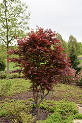 Emperor I Japanese Maple (Acer palmatum 'Wolff') at Hillermann Nursery