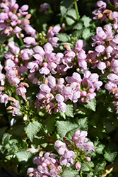Pink Pewter Spotted Dead Nettle (Lamium maculatum 'Pink Pewter') at Hillermann Nursery