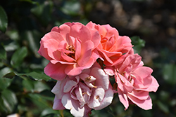 Coral Knock Out® Rose (Rosa 'Coral Knock Out') at Hillermann Nursery
