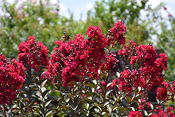 Double Feature® Crapemyrtle (Lagerstroemia indica 'Whit IX') at Hillermann Nursery