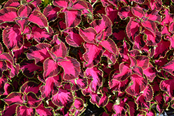 Chocolate Covered Cherry Coleus (Solenostemon scutellarioides 'Chocolate Covered Cherry') at Hillermann Nursery